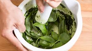 Growing Basil Bonnie Plants by How To Grow Basil Plants Ways Of Using Basil Leaves Where They