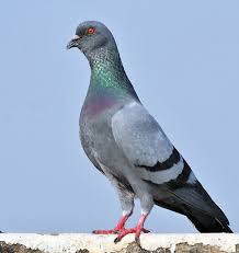rock dove definition and synonyms of rock dove in the