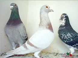 cuisine des pigeons voyageurs les pigeons de jo accueil