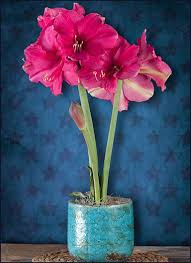 59 best amaryllis gifts pre planted w free shipping images on