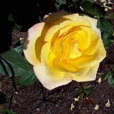 growing roses in the southwest hgtv