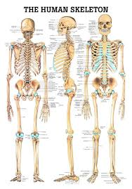 Human Figure Anatomy The 25 Best Human Skeleton Ideas On Pinterest Skeleton Anatomy