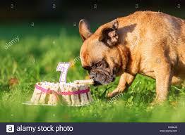 dog eating birthday cake stock photos u0026 dog eating birthday cake