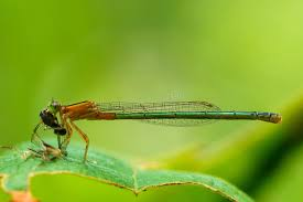 was ist das für ein insekt eine wanze oder was urlaub insekten libelle insekt wanze stockbild bild fauna blatt 94369123