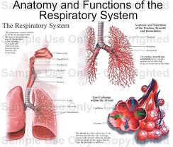 Human Anatomy And Physiology Review Anatomy And Functions Of The Respiratory System Medical