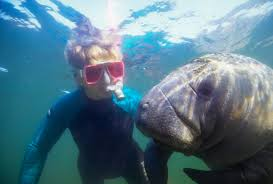 Florida snorkeling images Snorkeling with manatees sea for yourself snorkeling jpg