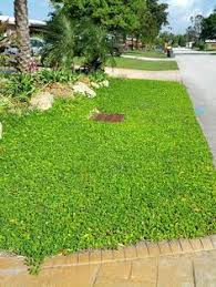 drought tolerant ground cover instead of water hogging grass this