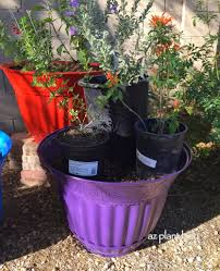 best australian native plants for pots and containers gardening creating a hummingbird container garden ramblings from a desert