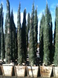 bemis tree varieties