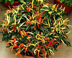 ornamental pepper seed 20 seeds capsicum sally ornamental