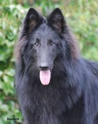 belgian shepherd new york basquelaine aarti of intention hill belgian tervuren cover dog