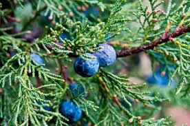10 berries that birds mnn nature network