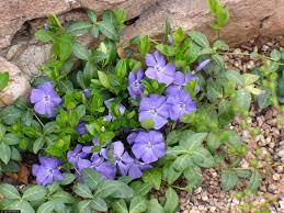 Vinca Flower Information - large image for vinca minor common periwinkle usda plants