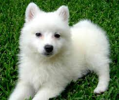 american eskimo dog black dog breeds ez vet pet education and news