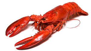 the history cook the lobster u0027s humble beginnings