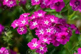 bright pink summer garden flowers close up flora backgrounds