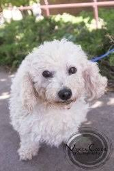 bichon frise years 74 best adopt me images on pinterest