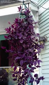 take care of a wandering jew plant plants landscapes and purple