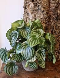 small striking adorable houseplant peperomia radiator plant with 6