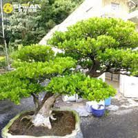 best poplar trees to buy buy new poplar trees