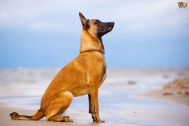 lifespan of belgian shepherd health issues more commonly seen in the belgian shepherd pets4homes