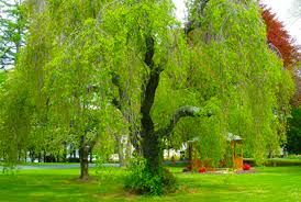 different types of trees best types of weeping trees for landscaping photos id