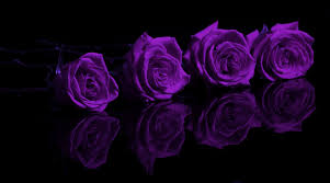 purple roses flowers purple roses oses flowers 1080p wallpaper for hd 16