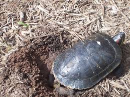 plants native to new jersey red eared sliders