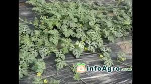 watermelon growing how to plant grow and harvest watermelon