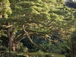 european tree of the year the cé park saman