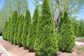 evergreen trees desert horizon nursery