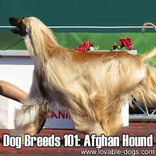 afghan hound therapy dog dog breeds 101 afghan hound http lovable dogs com dog