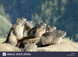 groundhog rodent alpine groundhog gopher mankei marmota marble