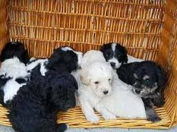 bichon frise breed standard view ad bichon frise poodle standard mix puppy for sale
