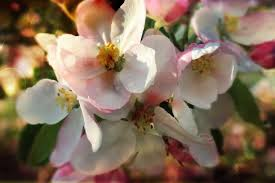 apple tree bloom wallpapers free images nature branch blossom fruit petal food spring