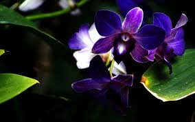 Purple Orchids Blue And Purple Orchids Wallpaper