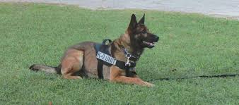 belgian shepherd north carolina retired service dogs southern pines nc official website