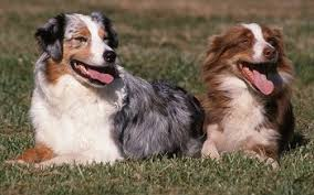 adopt a australian shepherd buying or adopting an australian shepherd