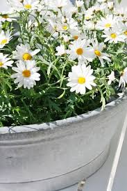 Daisy The Flower - 228 best fresh as a daisy images on pinterest flowers