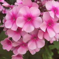 Phlox Flower Phlox Our Edible Flowers The Flower Deli