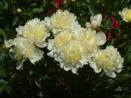 Peonies Season Paeonia Lactiflora U0027laura Dessert U0027 Binnyplants Com Peonies