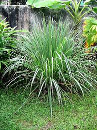 How To Keep Mosquitoes Away From Backyard Citronella Plant Keeps Mosquitoes Away Garden Myths