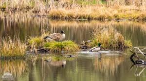 Washington wildlife images List of wildlife refuges in washington state jpg