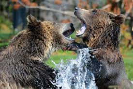 grizzly claws grizzly facts for kids students pictures information
