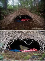 animal architects bowerbirds design u0026 build showy colorful homes