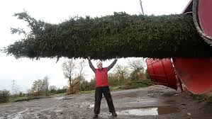 shirley based company selling 60ft trees to the