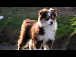 australian shepherd yorkie top 5 best small dog breeds that make fantastic watchdogs youtube