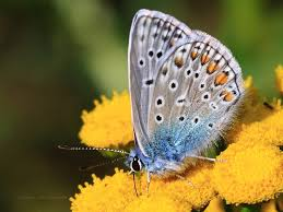nature pic of the day 20091113 lone icarus butterfly