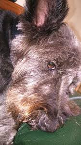 cairn hair cuts 18 best cairn terrier images on pinterest cairn terrier puppies