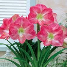 pink impression amaryllis amaryllis breck s gifts amaryllis